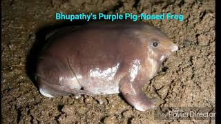The Purple Pig-Nosed Frog