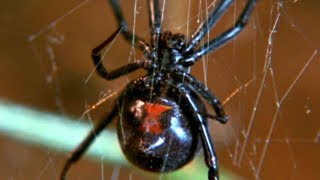 Facts About Spiders 🕷 - Secret Nature | Spider Documentary | Natural History Channel