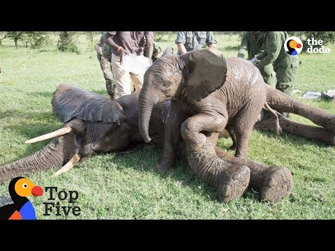 Baby Elephant Stays With Injured Friend + Awesome Animal BFFs | The Dodo Top 5 - Best Friends Day