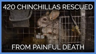 420 Chinchillas Rescued From Painful Death