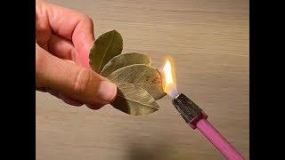 Co się stanie, gdy podpalisz liść laurowy? Sprawdź, to warto wiedzieć