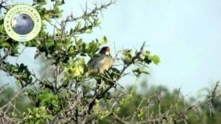 preview picture of video 'Pepitero_de_Collar.mpeg'