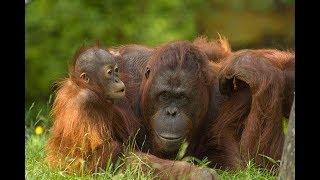 Endangered animals #3: Bornean Orangutan Facts, Habitat, Diet