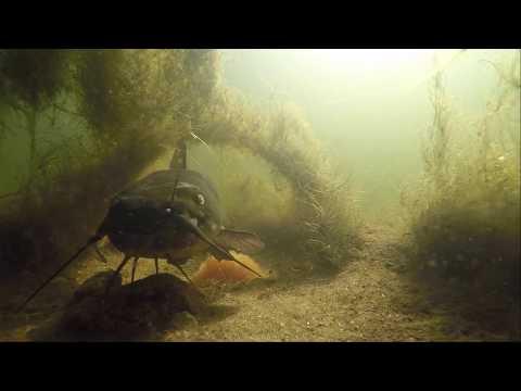 Undervandsoptagelse af dværgmalle