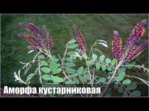 Аморфа кустарниковая - размножение семенами