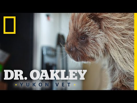 A Porcupine With a Skin Infection | Dr. Oakley, Yukon Vet