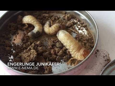 Die ergebnisreichen Präparate von den Parasiten im Organismus