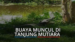 Buaya Muncul di Tanjung Mutiara Agam, KSDA Ingatkan Jangan Buang Sampah Sisa Rumah Tangga ke Sungai