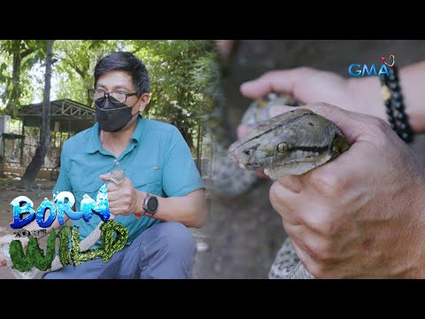 [GMA]  Born to be Wild: How pythons balance our ecosystem
