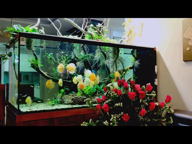 Discus Romance ❤️ Red Roses and gorgeous Discus and Set Up