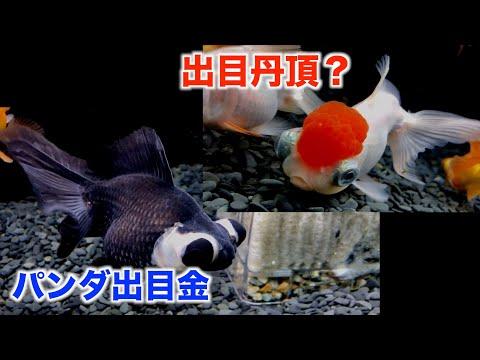 【金魚水槽】出目丹頂。パンダ出目金。水泡眼。たくさん仲間入りしました。