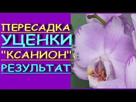"""ВЫХАЖИВАЮ орхидею-УЦЕНКУ """"Xanion"""":ПЕРЕСАДКА,РЕЗУЛЬТАТ,phal. 'Xanion',фаленопсис """"Ксанион""""(""""Леванте"""")"""