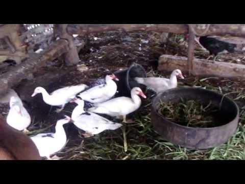 Video good livestock to wild duck cara ternak entog