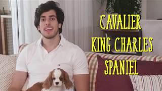 CAVALIER KING CHARLES SPANIEL | Bom Pra Cachorro