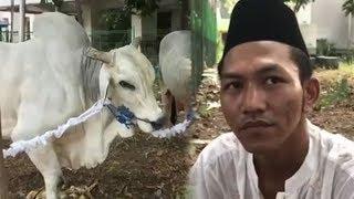 Cerita Penjaga Sapi Terberat Milik Jokowi yang Dikurbankan di Istiqlal