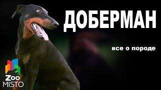 Доберман - Все о породе собаки | Собака породы - Доберман