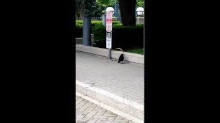The not so smart crow