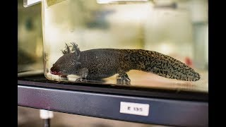 Newswise:Video Embedded scientists-assemble-genome-of-salamander-with-regeneration-capabilities