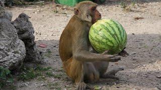 Обезьяны и арбуз. Остров обезьян, Нячанг, Вьетнам.