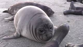 Elephant Seal Pup Encounter on South Georgia Island