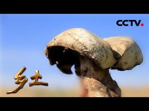 《乡土》 20150818 芦苇滩里的地下宝贝 | CCTV农业