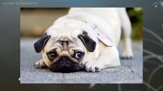 10 Najmniejszych psów świata | SpinkaFun