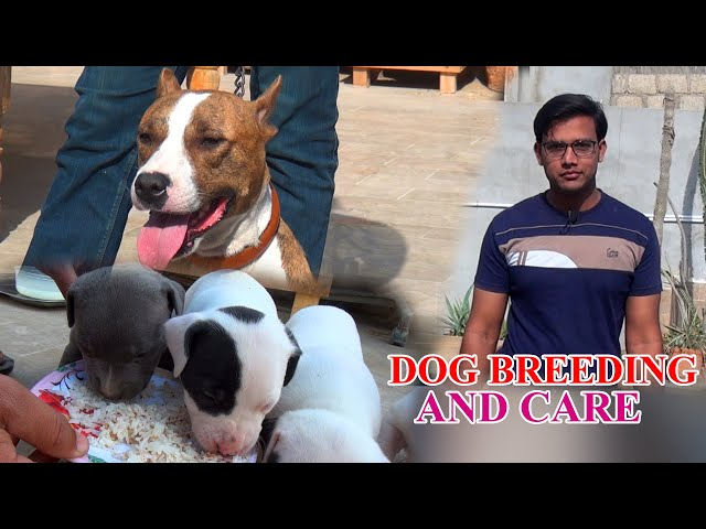 Pitbull Dog First Delivery how to Puppy's care Video In Urdu/Hindi (JAIC)