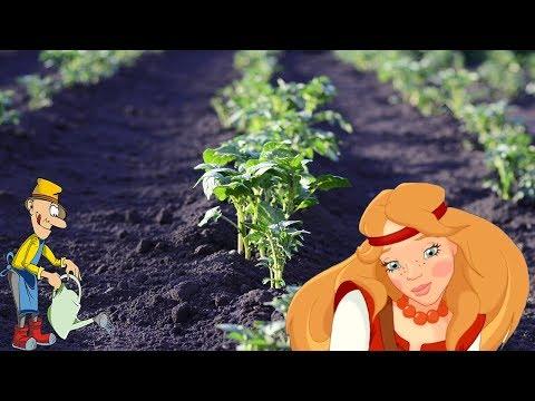 Как правильно сажать картошку на какую глубину и на каком расстояние