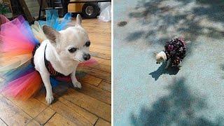 Fashionable Dog Loves Dresses