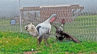 This. Was. Awkward. (our turkey & duck fought)