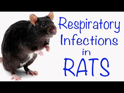 Video Respiratory Infections in Rats