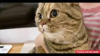 Funny cat so cute 丨 Munchkin cat Like a spoiled cat丨TOP cat