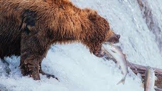 Brown Bears of Katmai   Alaska Day 8   Brooks Falls to Anchorage