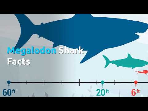 Megalodon Facts - The Largest Ocean Predator