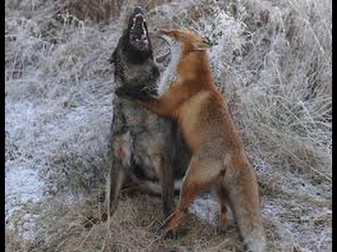 Fox Vs Dog. Top Attacks. Fox Stronger Dog. Fox Bolder Dogs