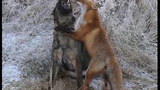 Fox vs dog. Top attacks. Fox stronger dog. Fox bolder dogs