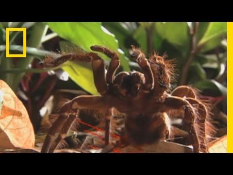 Dünyanın en büyük örümceği