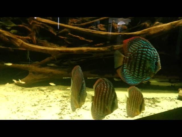 DISCUS FISH AND ANGELFISH IN SUPER LARGE NATURAL TANK ... Discus like in their natural habitat