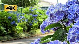 4K白い縁取りの美しいアジサイ紫陽花/みかも山公園三毳山栃木県栃木市岩舟町