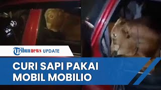 Viral Video Penangkapan Bapak dan Anak yang Nekat Curi Sapi Pakai Mobilio, Begini Penampakannya