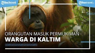 Viral Video Orangutan Dewasa Masuk Permukiman Warga di Kalimantan Timur, Warga Beri Makan dan Minum