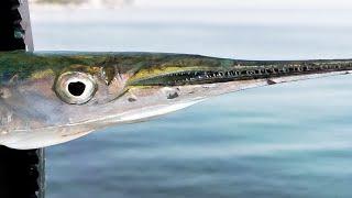 Рыба сарган как и на что ловить