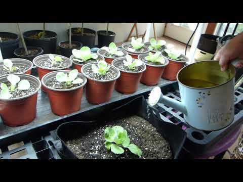, title : 'How to Plant Cabbage From Seeds