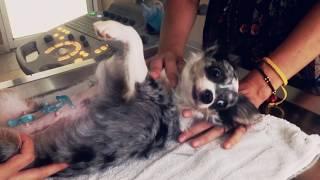 ВЛОГ Стерилизация собаки, пиометра у собак   Чихуахуа Софи