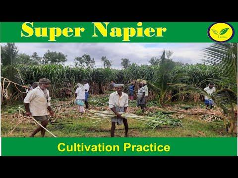 Super Napier Grass Seeds 75 Paisa Per Stem