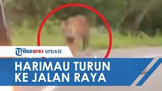 POPULER: Viral Video di Instagram, Seekor Harimau Sumatera Berkeliaran di Jalan Raya
