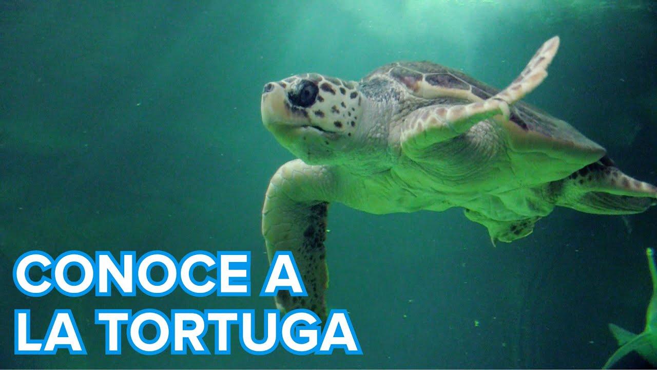 Cómo viven las tortugas marinas | Vídeos de animales para niños
