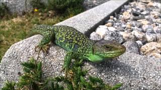Lagarto ocelado (Timon lepidus) en Noia.  Lacerta lepida.  Eyed Wall Lizard