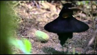 Танец райских птиц :)