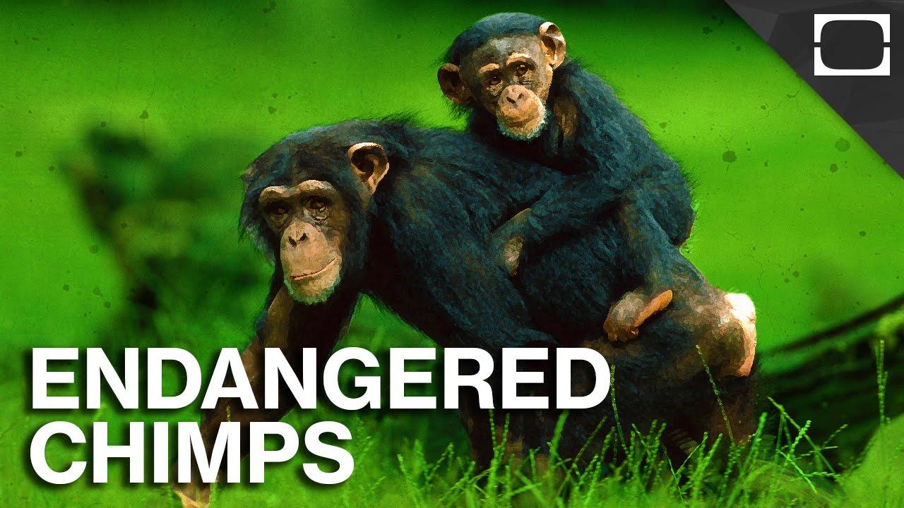 America's Plan To Save Chimpanzees thumbnail